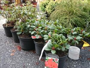 Små rhododendron