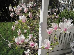 Magnolia i full blomstring